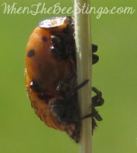 Ladybug Pupa 3