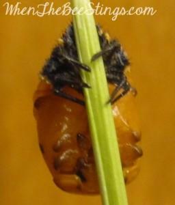 Ladybug Pupa 1