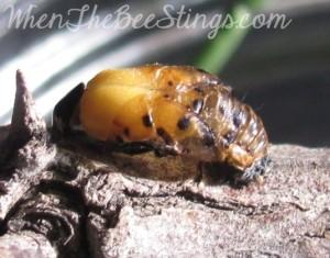 Ladybug Metamorphosis 2