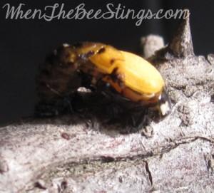 Ladybug Metamorphosis