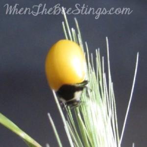 Ladybug Newly Emerged